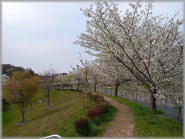 2012.4.15 桜