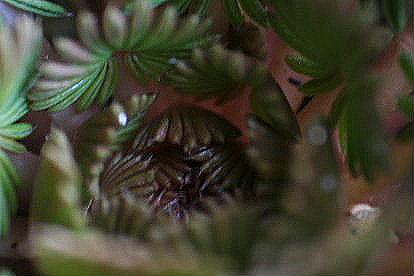 オキザリス 孔雀の舞