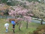 高森峠の桜2