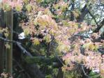 一心行の葉桜2