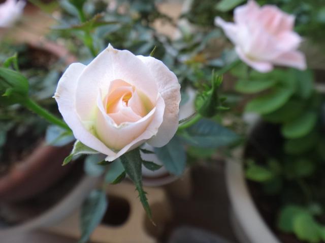 ミニ薔薇0806