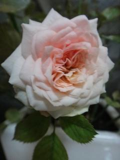 薔薇0810