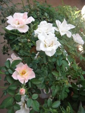 ミニ薔薇0925
