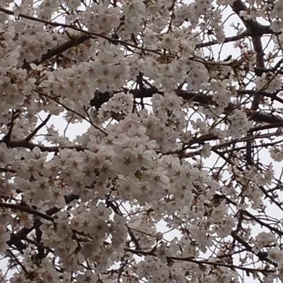 桜_Mar23_2013
