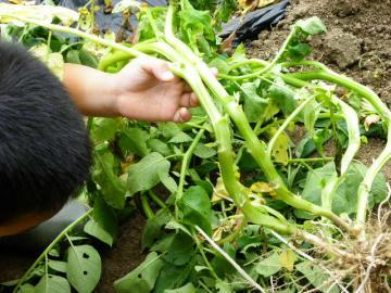 ジャガイモの茎