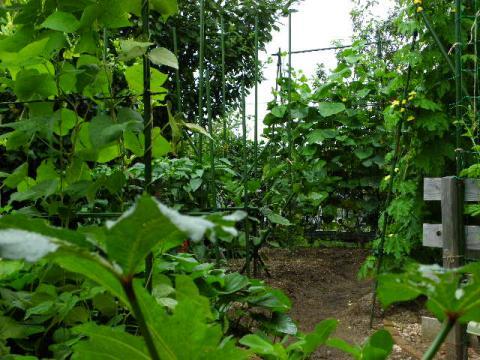 夏野菜の庭