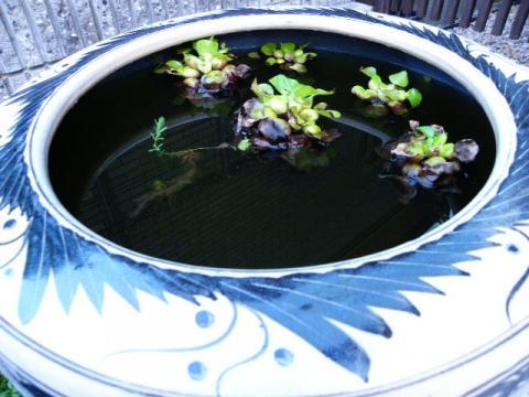 メダカの火鉢