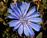 180px-Chicory_flower_001[1]