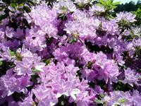 紫色のつつじ