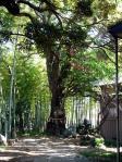 川口市指定天然記念物「タブノキ」