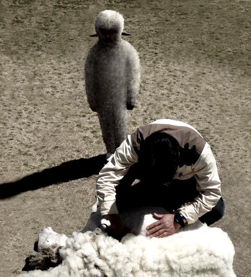 毛を刈られる羊