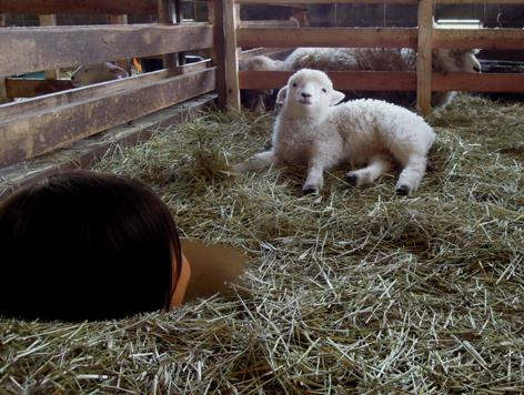 子羊と対面