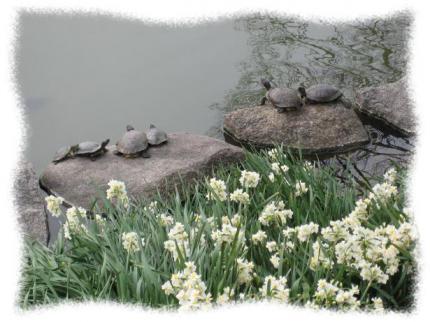 2013年3月7日明石公園のカメ