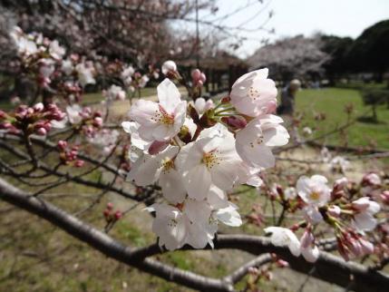 2013年3月30日明石公園②