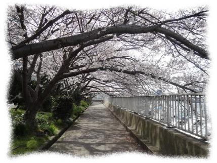 2013年4月5日漁港の桜①
