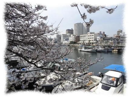 2013年4月5日漁港の桜②