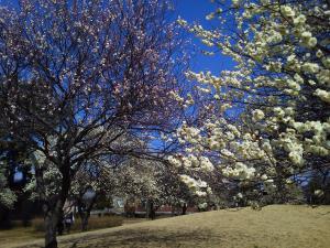 梅園公園 梅の開花