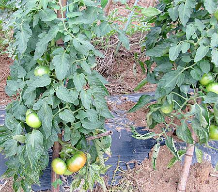m-tomato-1.jpg