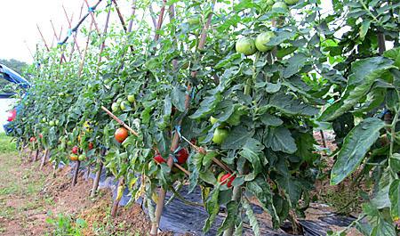 m-tomato-2.jpg