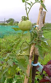 n-tomato-4.jpg