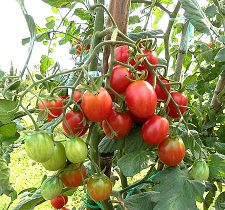 n-tomato-6.jpg