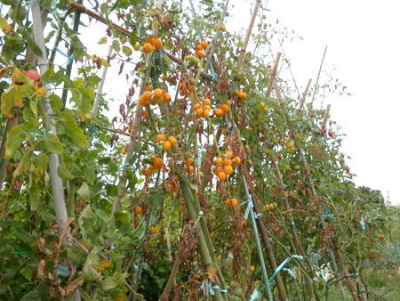 o-tomato-3.jpg