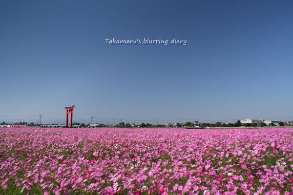 今年は総じて花が大きく、そしてピンク色中心で赤と白が少ないです。
