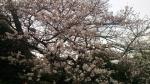 目黒川沿いの桜[2013-03-20]