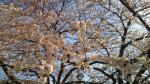 目黒川沿いの桜[2013-03-22]