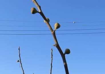 イチジクの木12月上旬