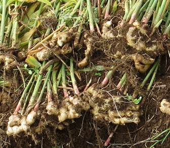 ショウガ収穫物の根