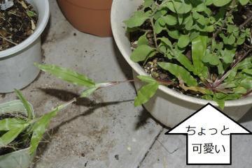 チヂミザサ(縮み笹)_IGP3478