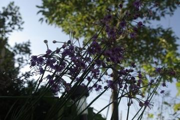 球根の花_IGP3610 (1)