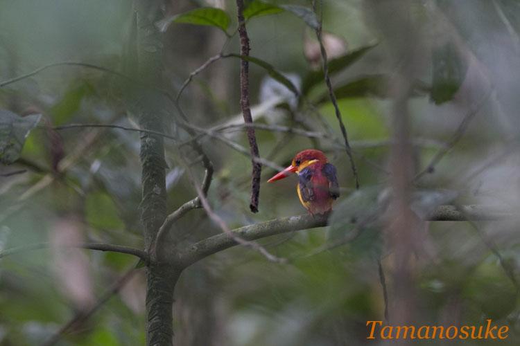 Rufous_Backed Kingfisher_13_1