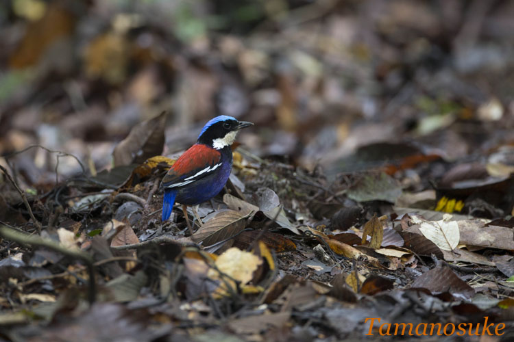 Blue_headed_pitta_23.jpg