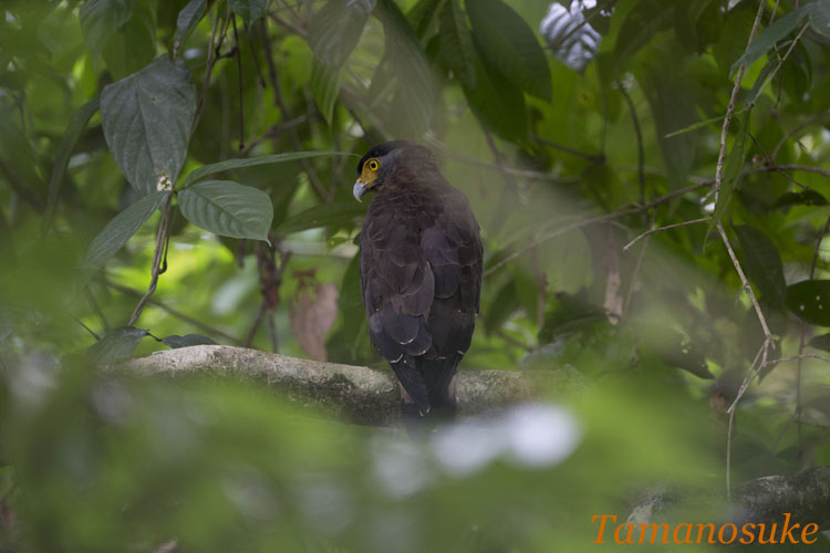Crested_Serpent_Eagle_1.jpg