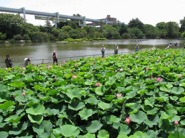 千葉公園弁天池のハス田。後方は貸しボートがある綿打池。背後には千葉都市モノレールが走る。