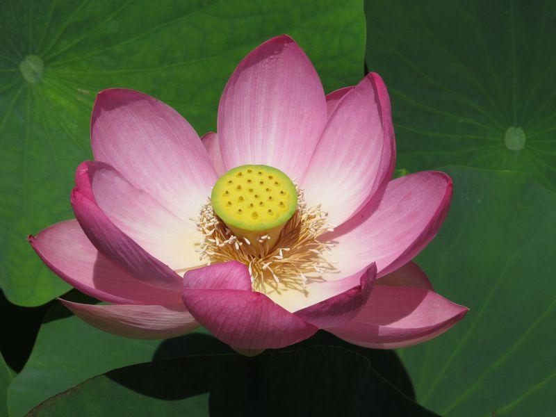 開花3日目の花