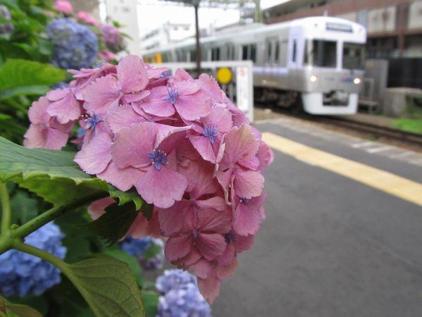 新代田駅ホーム上に咲くアジサイ