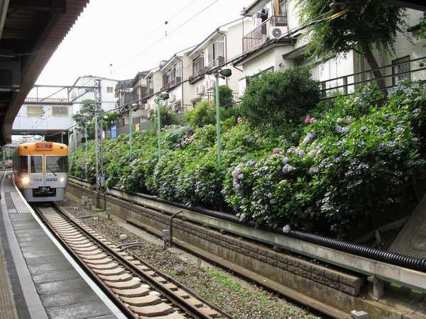 東松原駅構内のアジサイ。上り線側は夜間にライトアップされる。