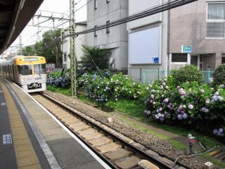 東松原駅下り線側のアジサイ。