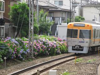 東松原駅の吉祥寺方に咲くアジサイ。