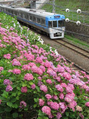 新代田駅に近い掘割ののり面。この辺りはピンク色のアジサイとなっている。