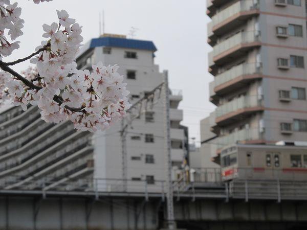 五反田駅に停車中の東急池上線1000系と目黒川の桜