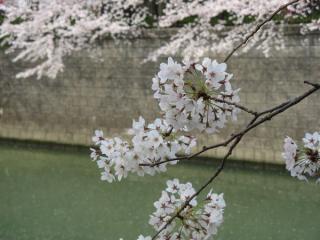桜の花と目黒川の水面。