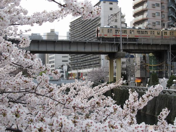五反田駅に停車中の東急池上線7700系電車と桜の花