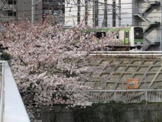ふれあいK字橋から見た通過中の山手線E231系と桜の花