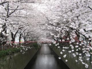 大橋付近は川幅が狭く「桜のトンネル」と化している。
