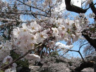千鳥ヶ淵緑道の桜は全体的に背が低く、至近距離で花を見ることができた。