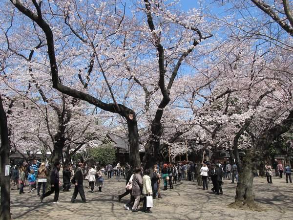 靖国神社境内の桜